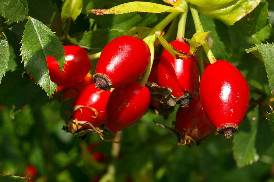 Tinh dầu nụ tầm xuân hữu cơ Alteya Organics Rosehip Seed Oil 20ml 3
