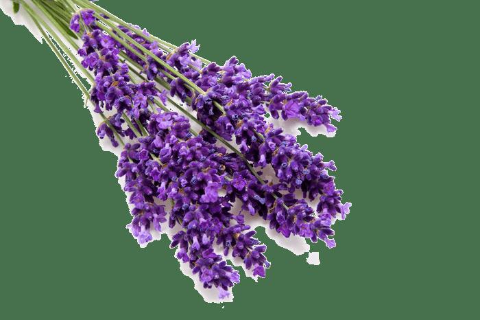ảnh hoa oải hương