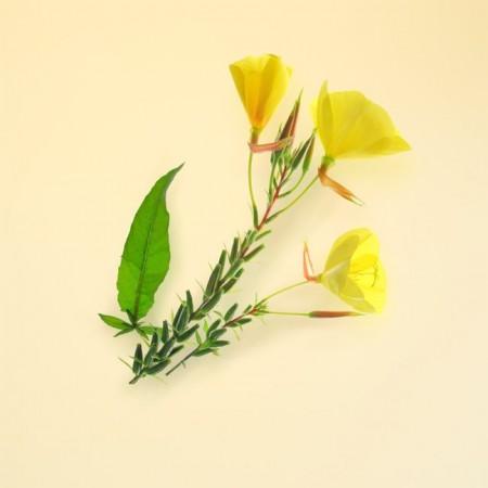 Có nên sử dụng dầu hoa anh thảo trị mụn nội tiết ?