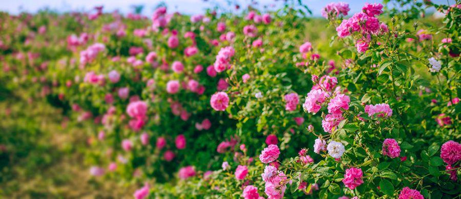 Nước uống hoa hồng hữu cơ La Vie en Rose Drops Ecomaat 6