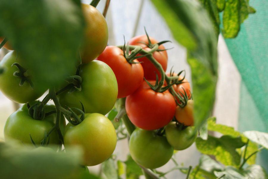 Lycopene có thay thế được ăn cà chua 1
