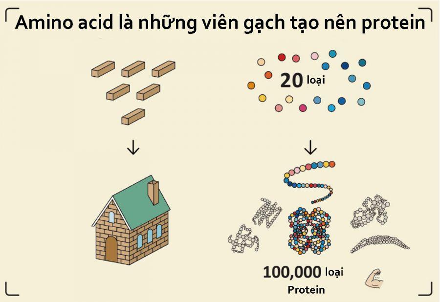 Amino acid (Axit amin) là gì? 3